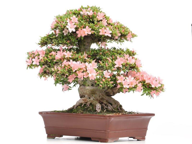 Rhododendron indicum Nikko, 60 cm, ± 25 jaar oud, met licht- en donkerroze bloemen