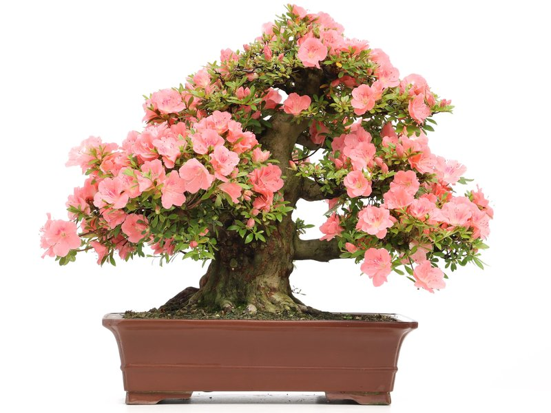 Rhododendron indicum Wakaebisu, 57 cm, ± 40 jaar oud, met roze bloemen