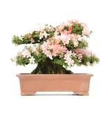 Rhododendron indicum Nikko, 43 cm, ± 40 jaar oud, met roze bloemen