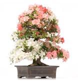 Rhododendron indicum Yama-No-Hikari, 60 cm, ± 35 jaar oud, met witte en roze veelkleurige bloemen