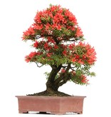 Rhododendron indicum Sangosai, 66 cm, ± 40 jaar oud, met rode bloemen in een pot met een barst