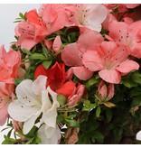 Rhododendron indicum Yama-No-Hikari, 64 cm, ± 30 jaar oud, met witte en roze veelkleurige bloemen