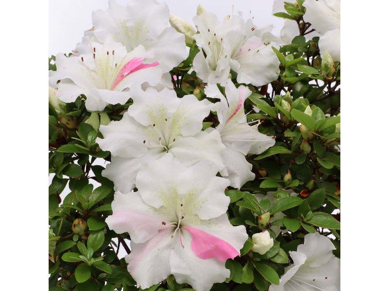 Rhododendron indicum Kaho , 34 cm, ± 35 jaar oud, met witte veelkleurige bloemen
