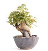 Acer buergerianum, 12 cm, ± 12 jaar oud