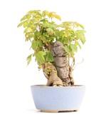 Acer buergerianum, 15 cm, ± 12 jaar oud