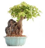Acer buergerianum, 16 cm, ± 8 jaar oud