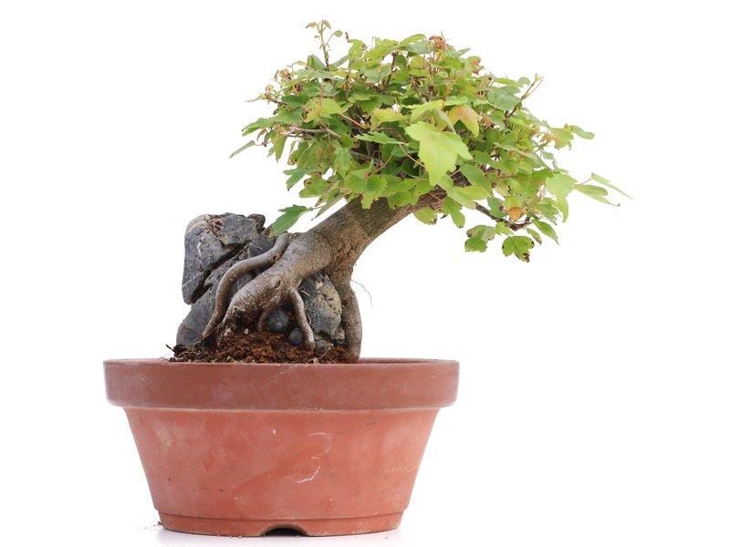 Acer buergerianum, 14,5 cm, ± 8 jaar oud