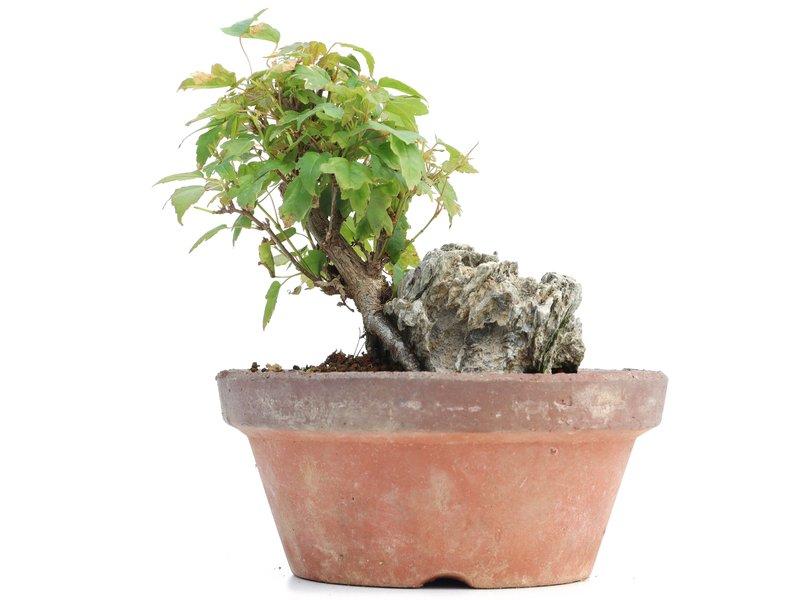 Acer buergerianum, 11,5 cm, ± 8 jaar oud