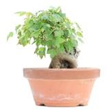 Acer buergerianum, 13 cm, ± 8 jaar oud