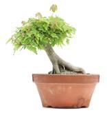Acer buergerianum, 14 cm, ± 8 jaar oud