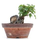 Acer buergerianum, 10 cm, ± 8 jaar oud