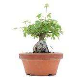 Acer buergerianum, 12 cm, ± 8 jaar oud