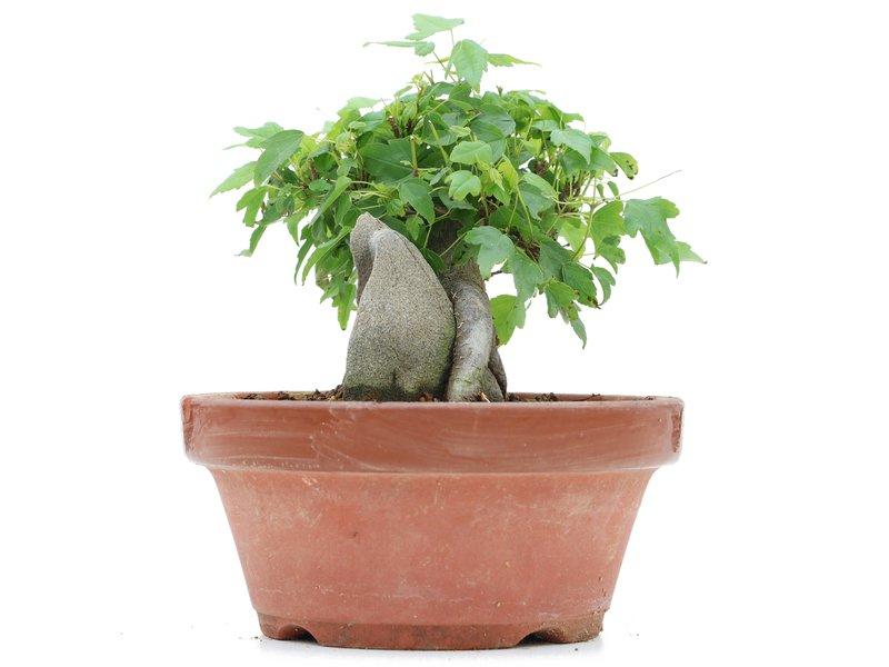 Acer buergerianum, 9 cm, ± 8 jaar oud