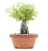 Acer buergerianum, 15 cm, ± 8 jaar oud