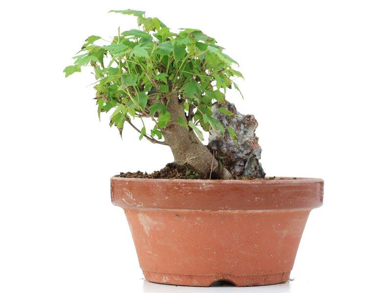 Acer buergerianum, 11 cm, ± 8 jaar oud