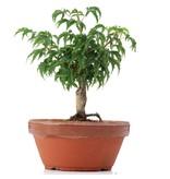 Acer palmatum Shishigashira, 13 cm, ± 4 jaar oud