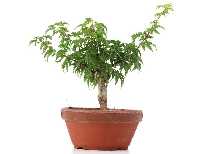 Acer palmatum Shishigashira, 19 cm, ± 4 jaar oud