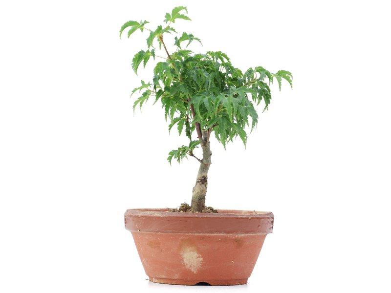 Acer palmatum Shishigashira, 16 cm, ± 4 jaar oud
