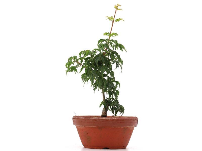 Acer palmatum Shishigashira, 21 cm, ± 4 jaar oud