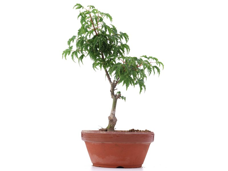 Acer palmatum Shishigashira, 23 cm, ± 4 jaar oud