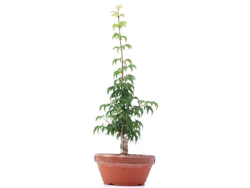 Acer palmatum Shishigashira, 30 cm, ± 4 jaar oud