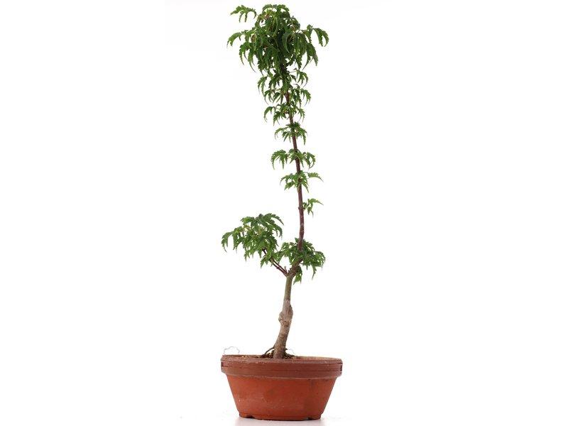 Acer palmatum Shishigashira, 36 cm, ± 4 jaar oud