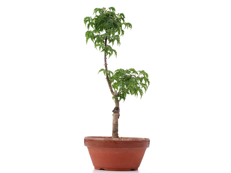 Acer palmatum Shishigashira, 29 cm, ± 4 jaar oud