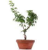 Acer palmatum Shishigashira, 28 cm, ± 4 jaar oud