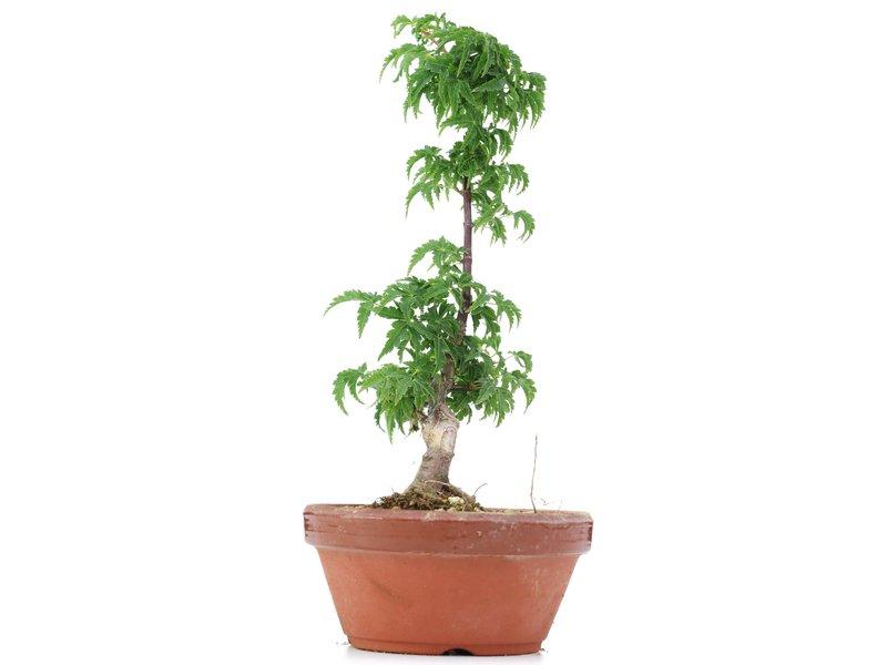 Acer palmatum Shishigashira, 24 cm, ± 4 jaar oud