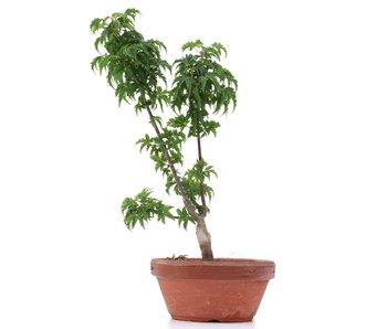 Acer palmatum Shishigashira, 25 cm, ± 4 ans