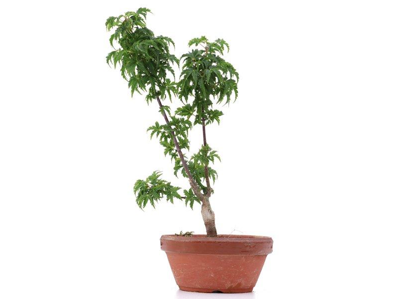 Acer palmatum Shishigashira, 25 cm, ± 4 jaar oud