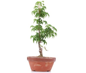 Acer palmatum Shishigashira, 24 cm, ± 4 años