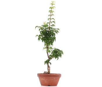 Acer palmatum Shishigashira, 37 cm, ± 4 años