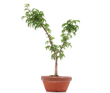 Acer palmatum Shishigashira, 32 cm, ± 4 years old