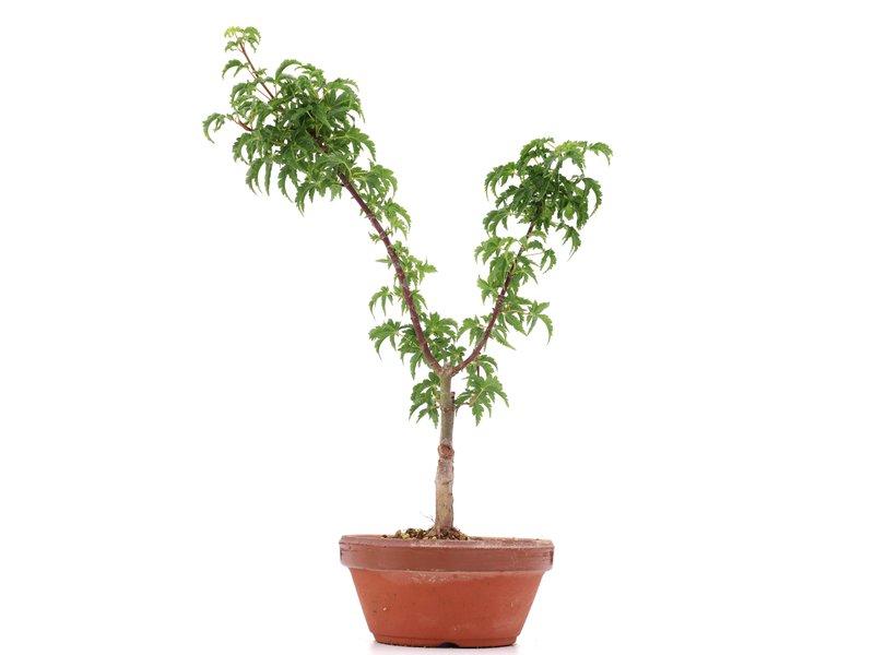 Acer palmatum Shishigashira, 32 cm, ± 4 jaar oud