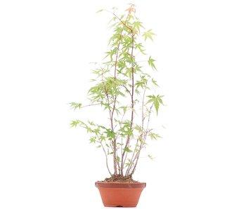 Acer palmatum, 54 cm, ± 5 años