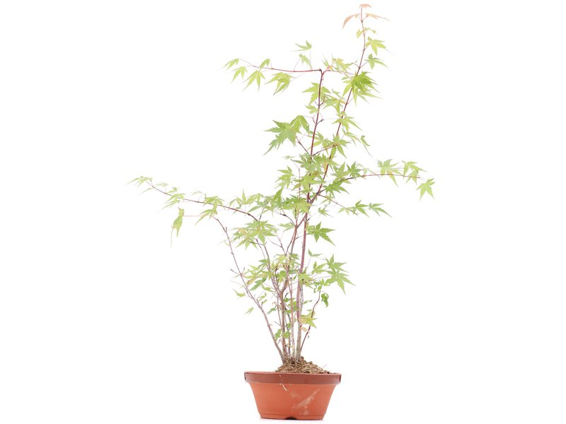 Acer palmatum, 54 cm, ± 5 jaar oud