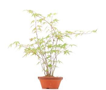 Acer palmatum, 38 cm, ± 5 años