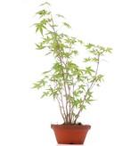 Acer palmatum, 41 cm, ± 5 jaar oud