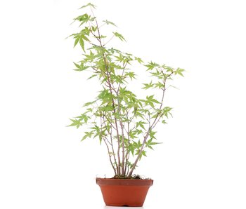 Acer palmatum, 41 cm, ± 5 ans