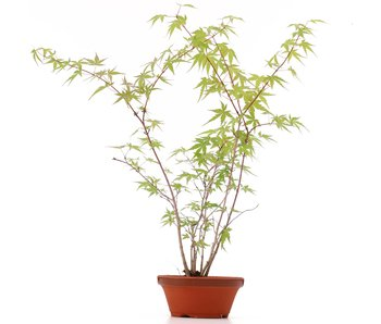 Acer palmatum, 42 cm, ± 5 years old