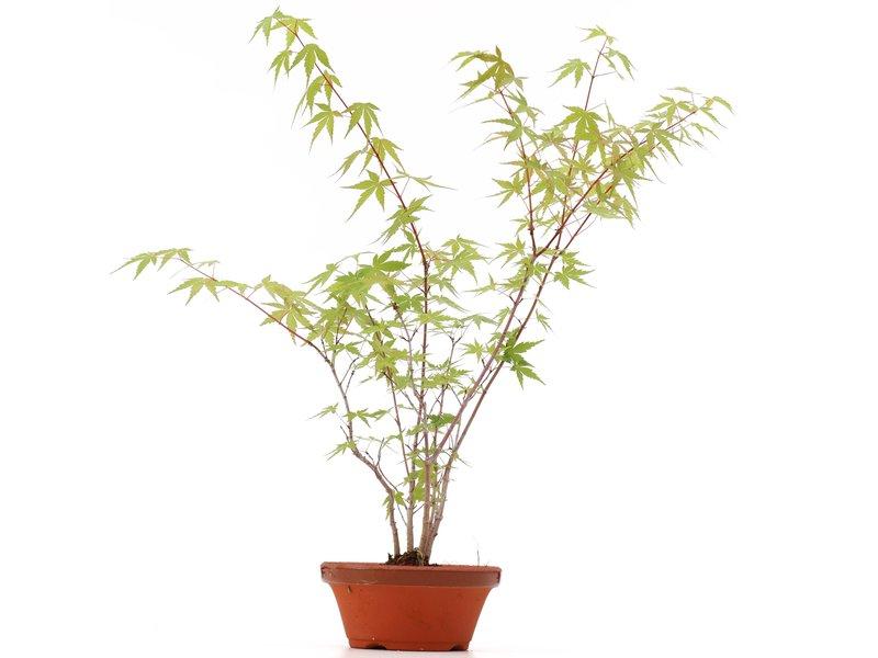 Acer palmatum, 42 cm, ± 5 jaar oud