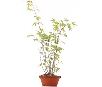 Acer palmatum, 42 cm, ± 5 ans