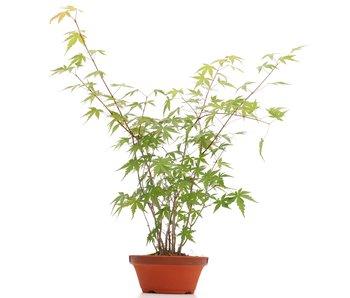 Acer palmatum, 37 cm, ± 5 ans