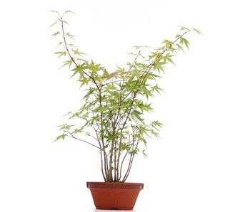 Acer palmatum, 38 cm, ± 5 years old