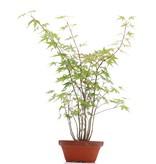 Acer palmatum, 38 cm, ± 5 jaar oud