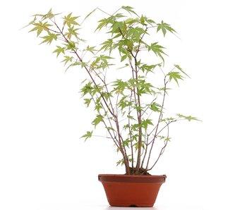 Acer palmatum, 38 cm, ± 5 ans