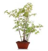 Acer palmatum, 36 cm, ± 5 jaar oud