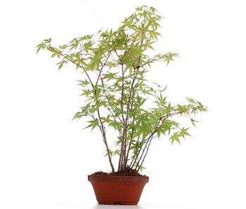 Acer palmatum, 36 cm, ± 5 años