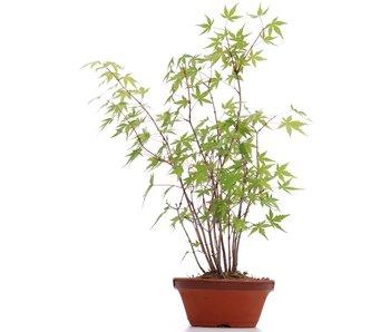 Acer palmatum, 39 cm, ± 5 años